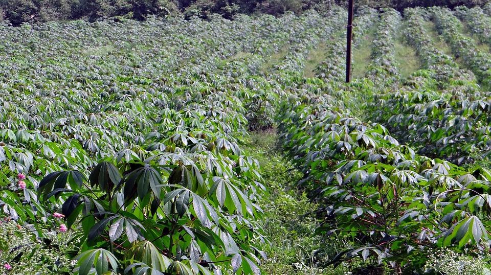 Cassava Farming in Nigeria