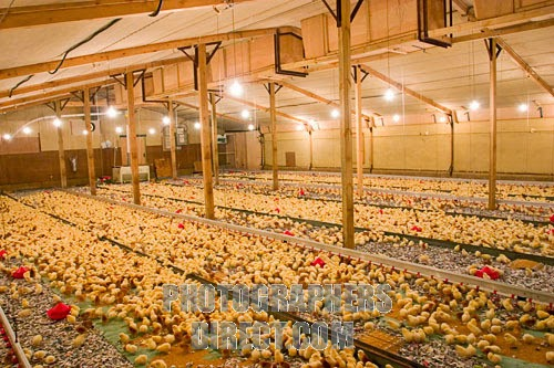 How To Start Lucrative Poultry Farming In Nigeria (Practical