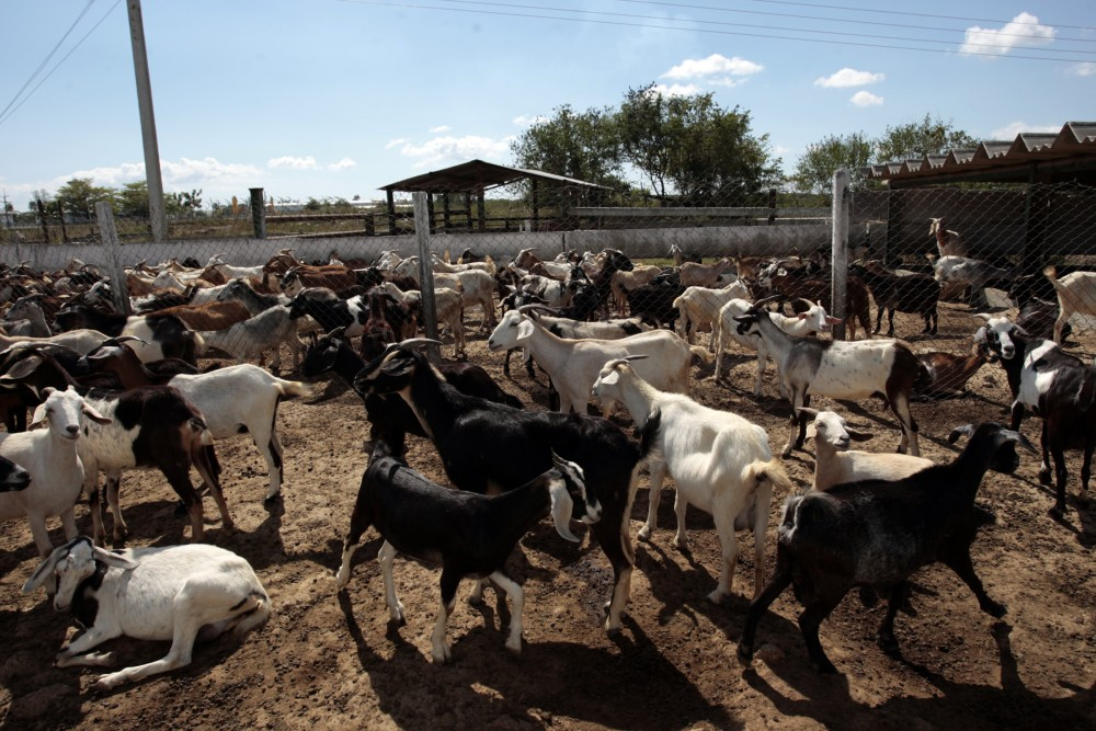 Goat Farming in Nigeria