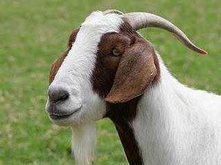 Goat-Boa-Specie