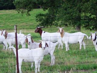 Goats-Pasture-Ground