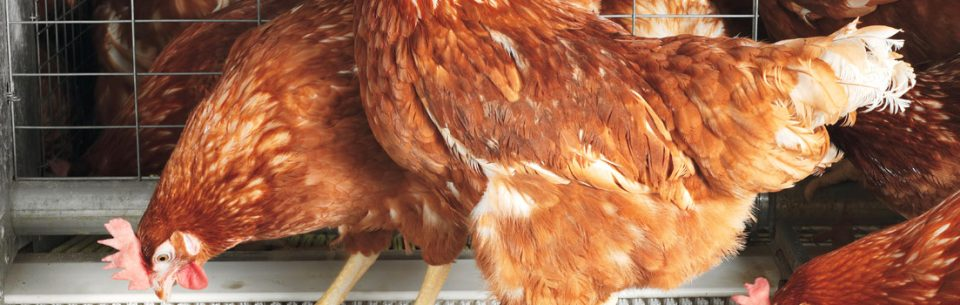 A good poultry farming in Nigeria
