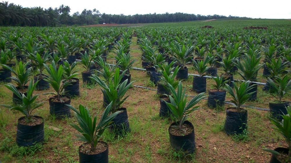 Wilmar oil palm nursery in ekong anaku cross river state