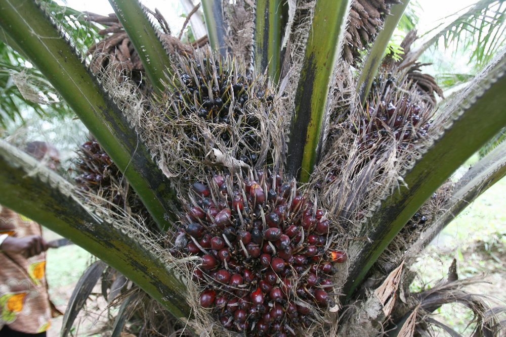 How To Start High Yield Palm Oil Tree Plantation In Nigeria