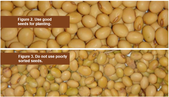 Suitable and Unsuitable Soybeans Seeds