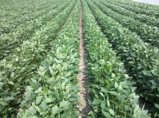 A Flourishing Soyabean Farming