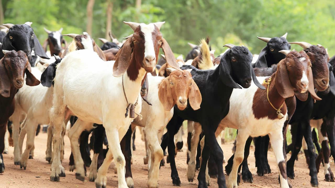 Buying and Selling Goats in Nigeria