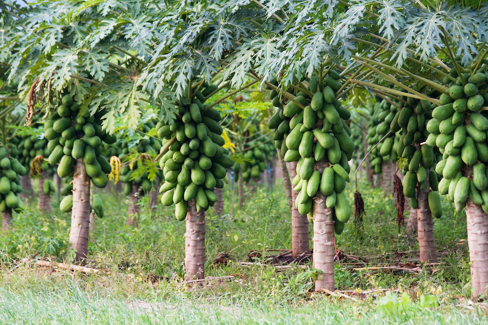 Pawpaw Farming in Nigeria