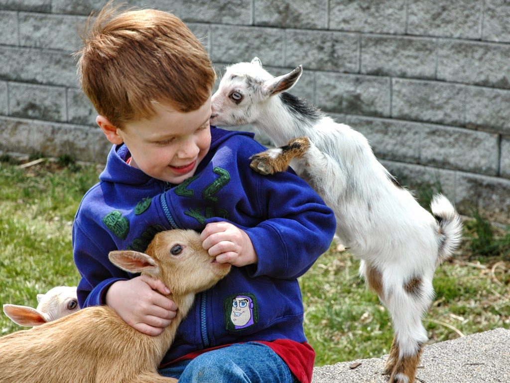 pygmy goat full grown