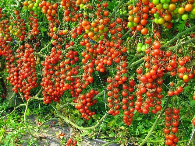 How To Start Tomato Farming In Nigeria Detail Report