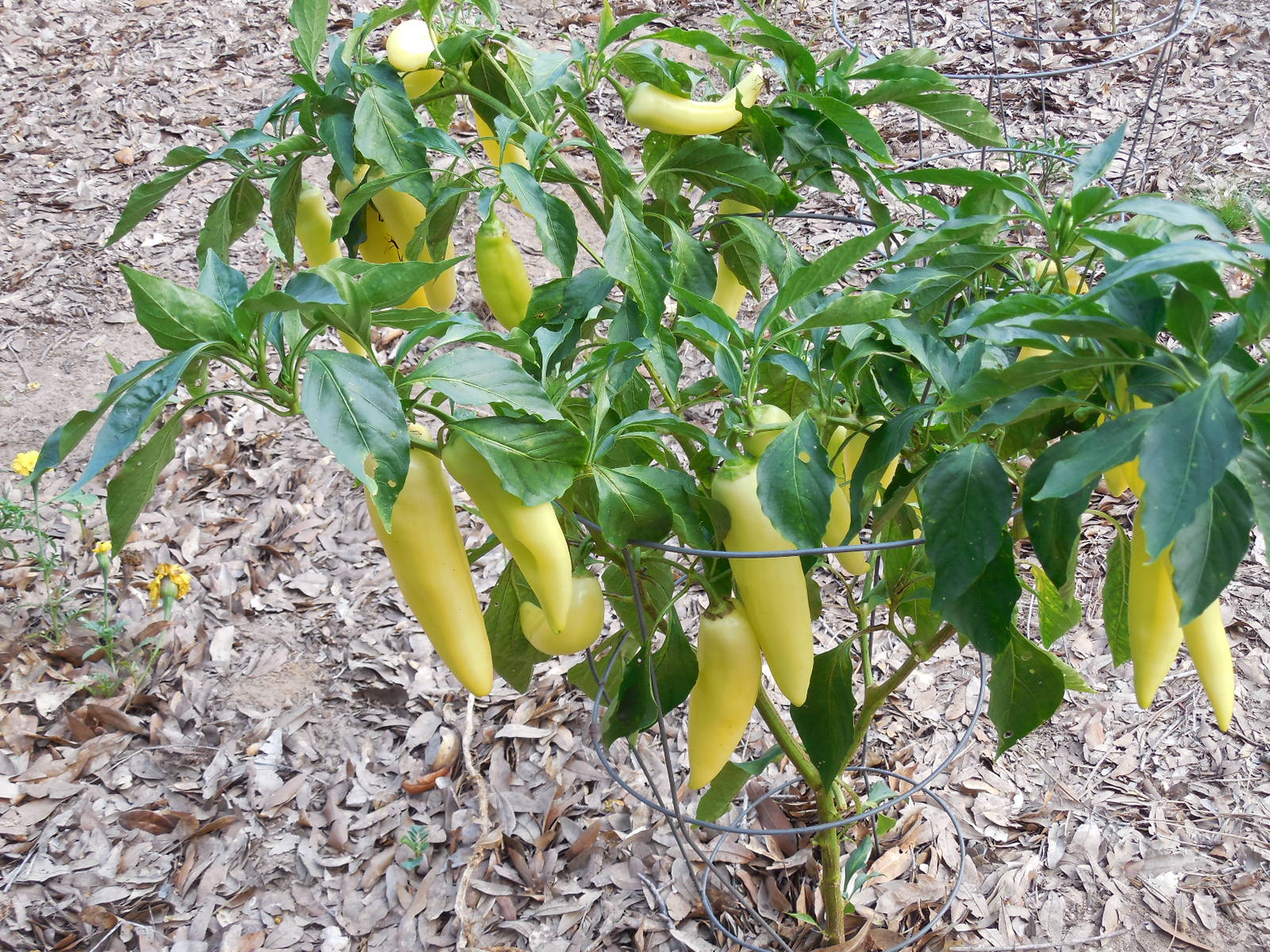 Pepper farming business plan