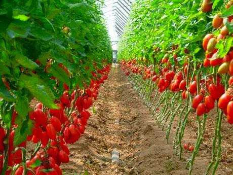 tomato farming business plan pdf