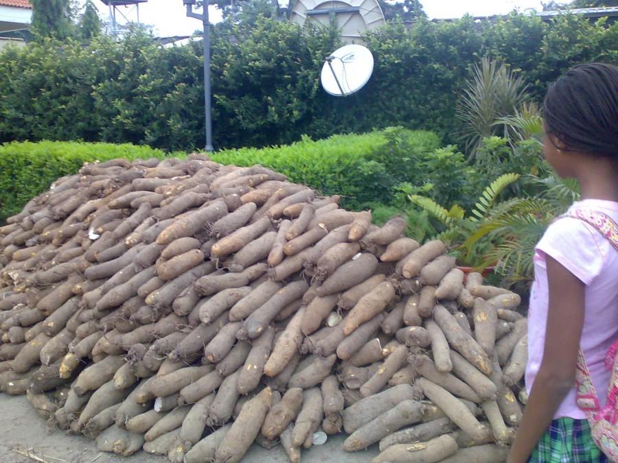 The Economic Benefits of Yam Farming