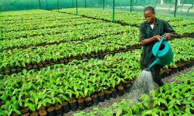 Cocoa Seedling, Cocoa Farming Techniques