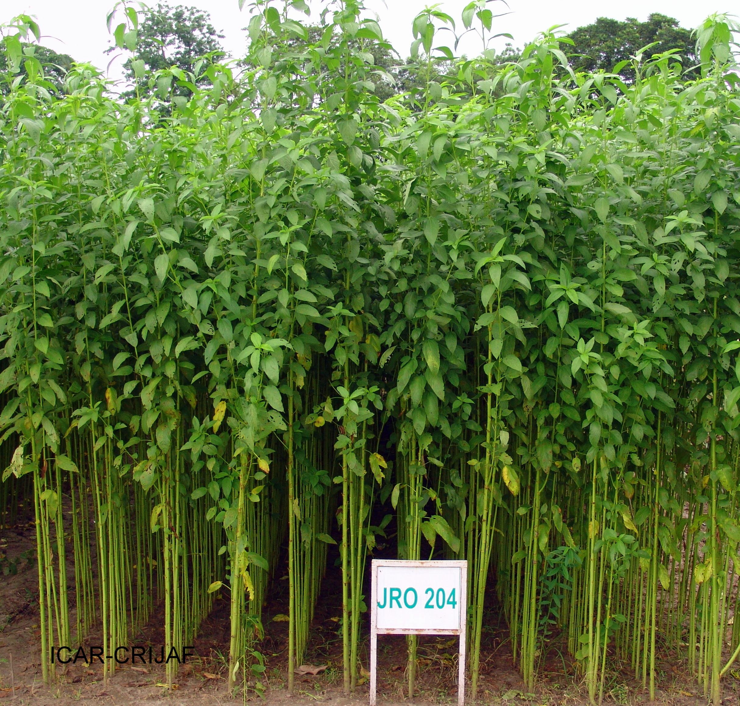 How to Start Ewedu Farming in Nigeria