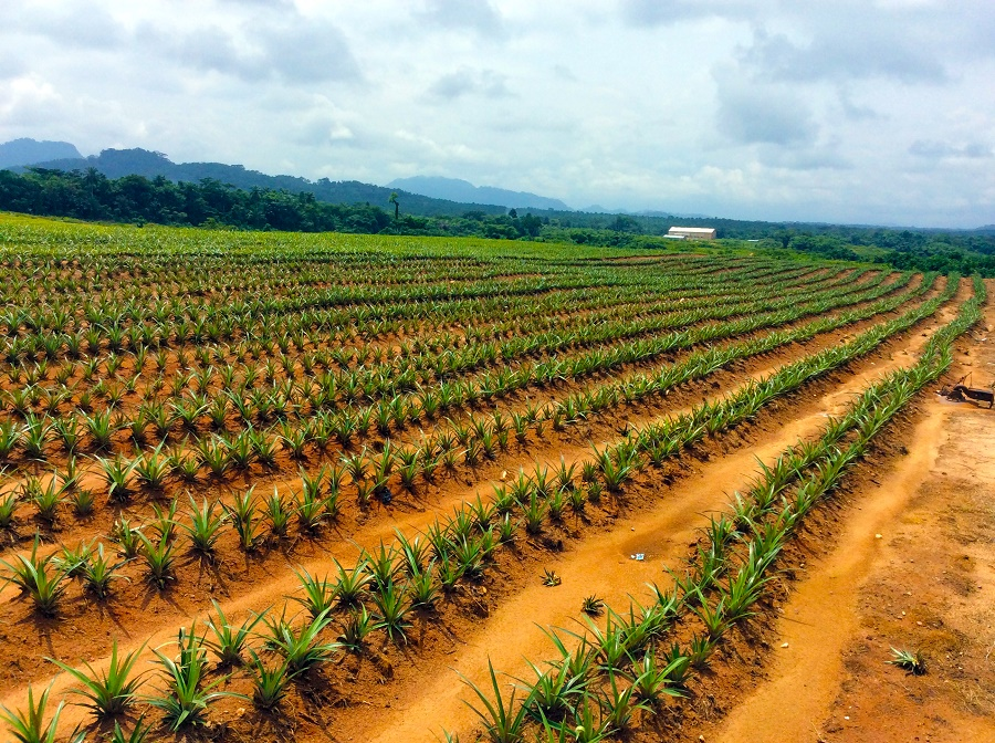 Pineapple Farming