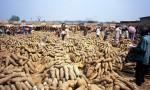 Yams in Nigerian market in Benue