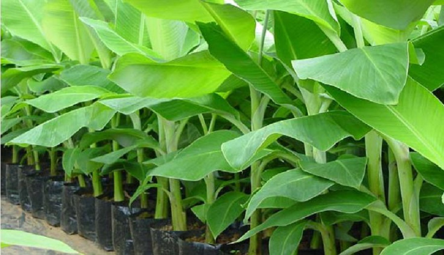 Banana And Plantain Farming