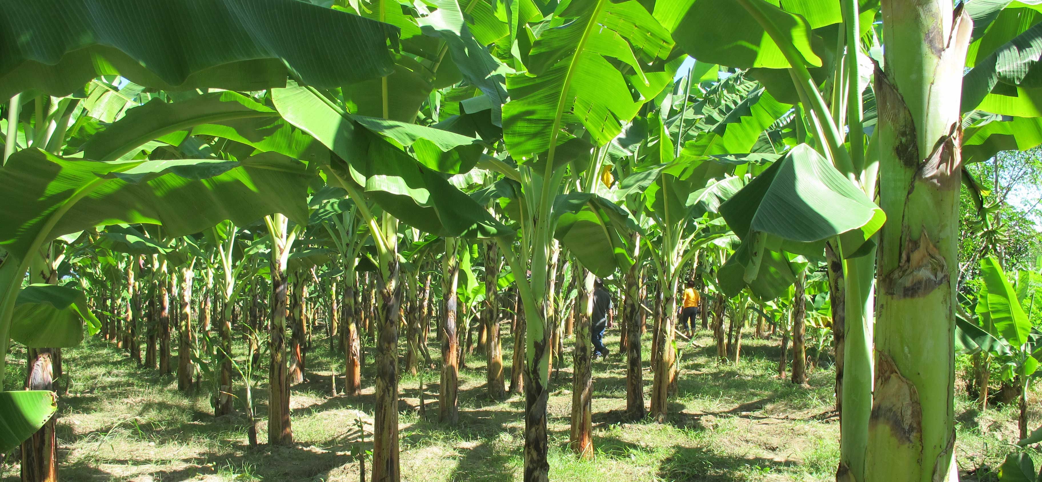 Banana And Plantain Plantation