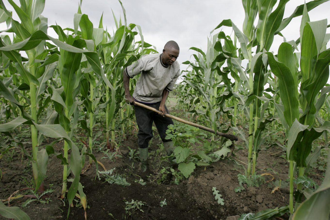 agriculture in nigeria Agriculture has undoubtedly become the most important sub-sector in the nigerian economy, next to petroleum the agriculture sector employs about 70 percent of the workforce, while accounting for slightly more than 40 percent of gross domestic product.