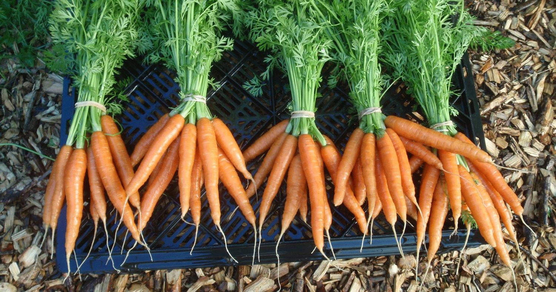 Carrot Farming in Nigeria