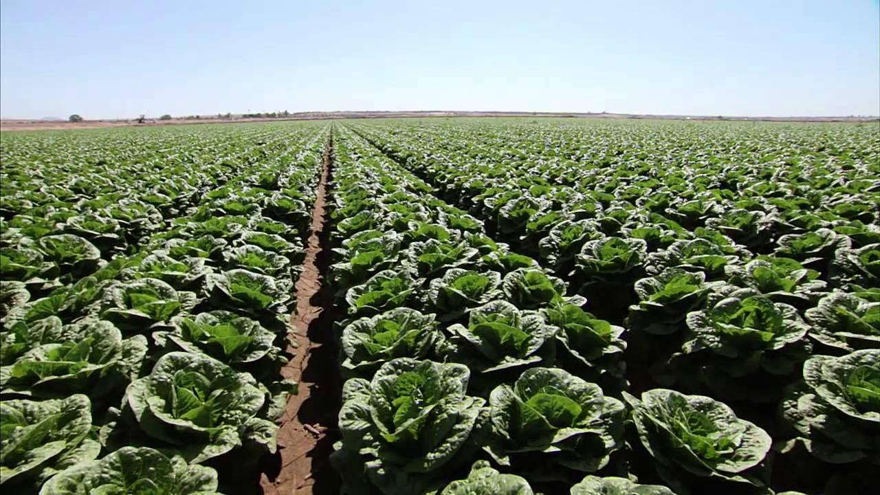 Lettuce Farming in Nigeria