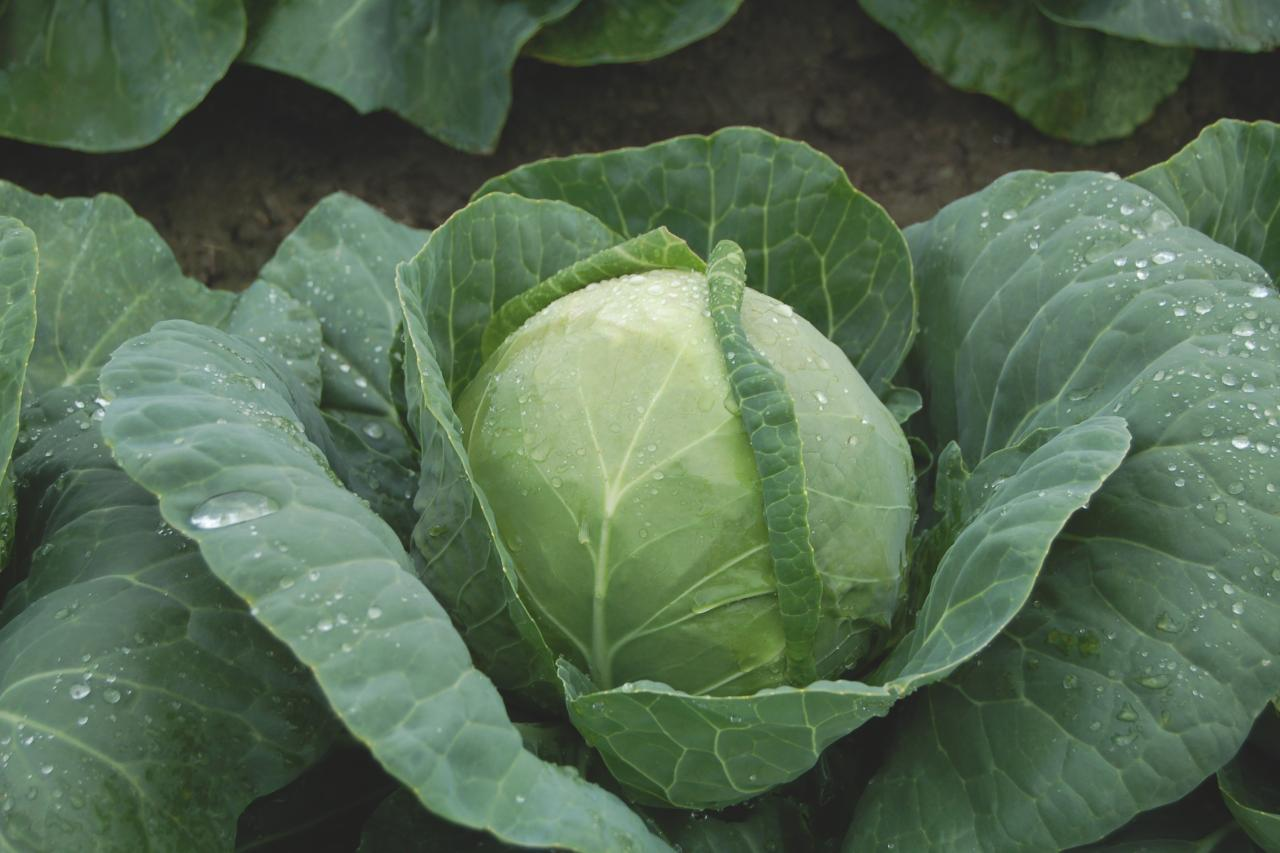 How to become a Cabbage Farmer in Nigeria