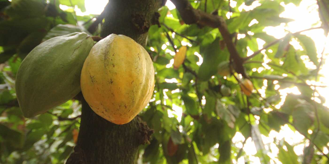 Feasibility Study on Cocoa Farming Production in Nigeria