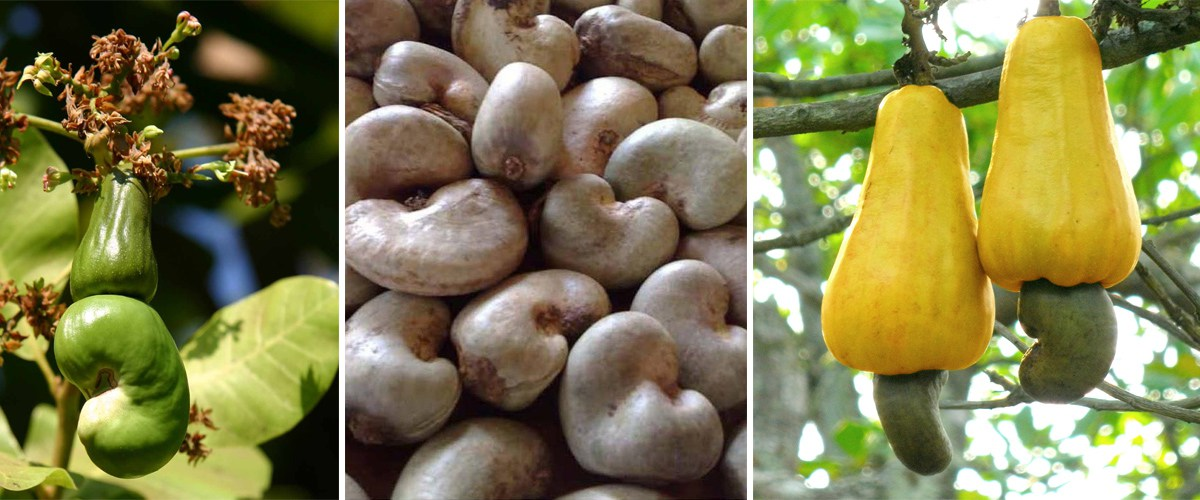 Cashew Nut Farming and Processing Business Plan